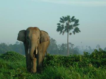 Elephant  D asie ( Sumatra )