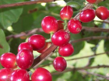 Caféier ( cerises de café)